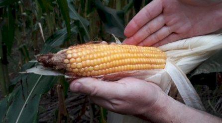 Estiagem em SC reduziu produtividade do milho em 19,5%