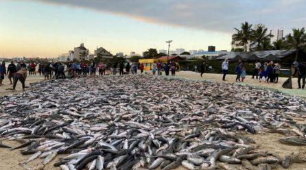 SC captura 550 toneladas de tainha em maio